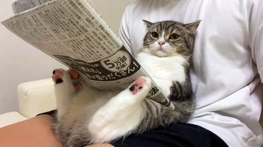 кот-блогер Мотимару породы скотиш-фолд, аккаунты кошек в Instagram