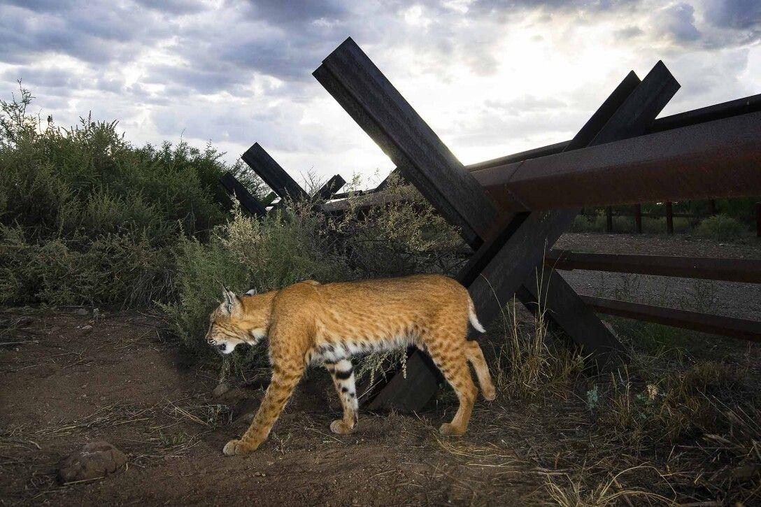 пума, Мексика, США, пума фото, фото кошки