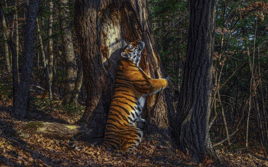 амурский тигр, Приморье, Земля леопарда, Приморский край, заповедник, национальный парк, Дальний Восток, тигры