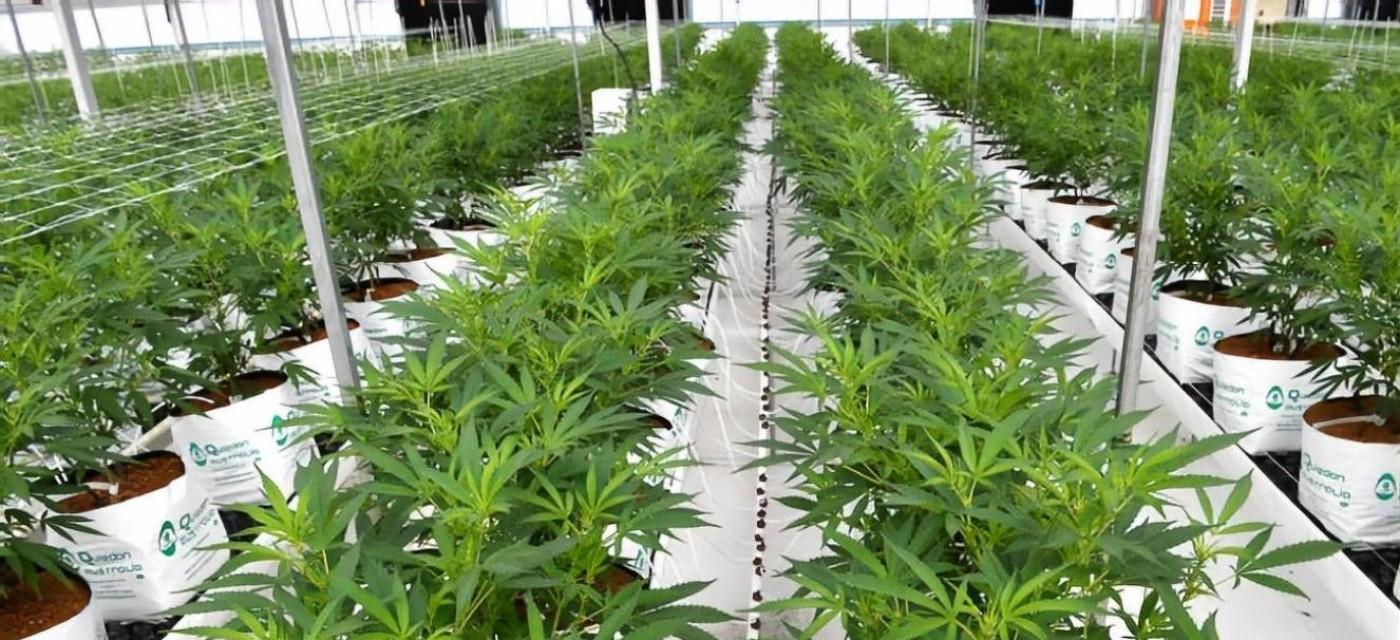 Канабіс вирощують промисловим способом