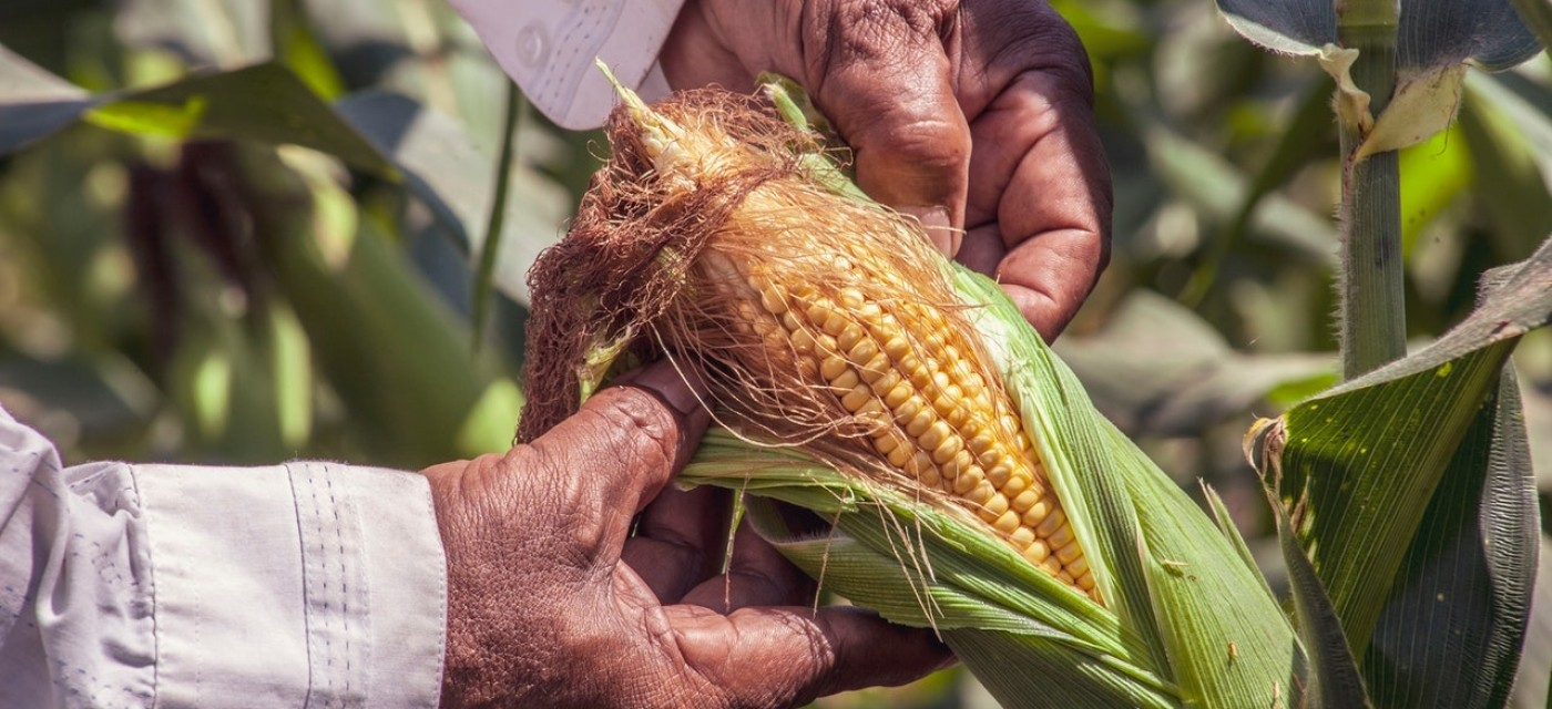 Растущая кукуруза