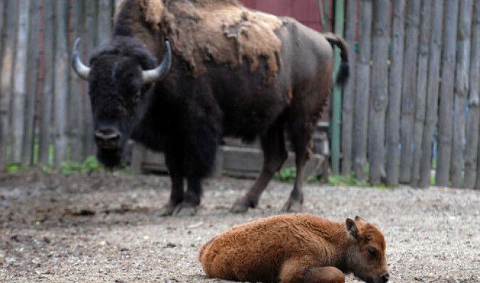 В киевском зоопарке родился европейский зубр