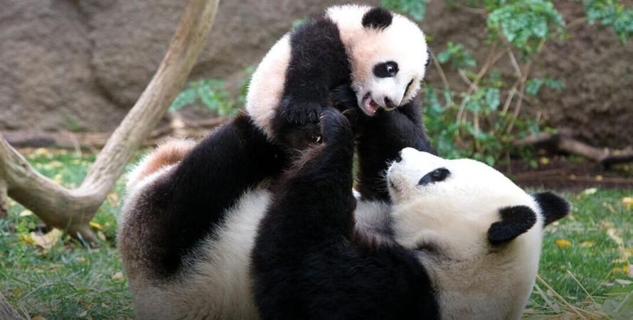 Китай, тварини, панди,