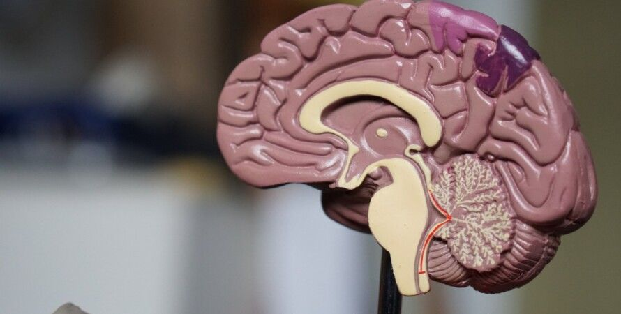 мозок, людина