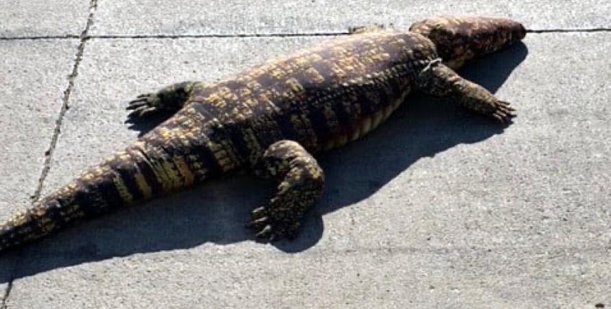 крокодил, животные, игрушки, рептилии