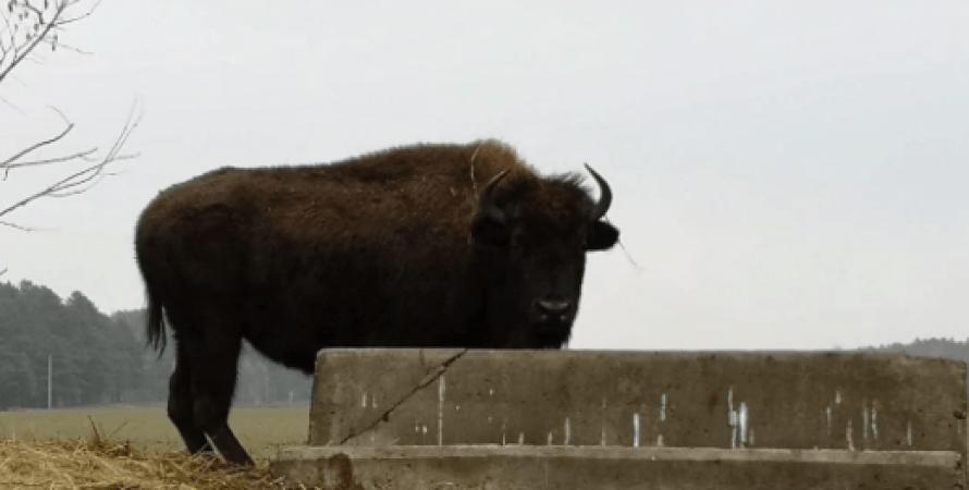 бизон, эко-парк