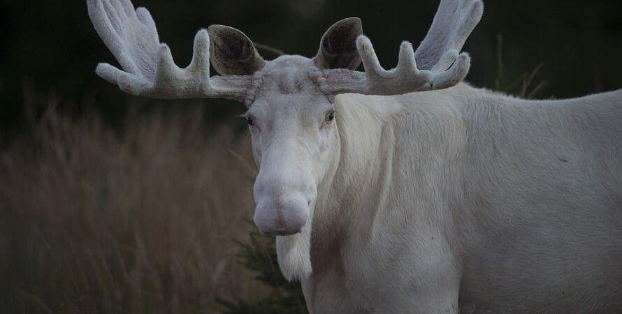 белый лось, швеция