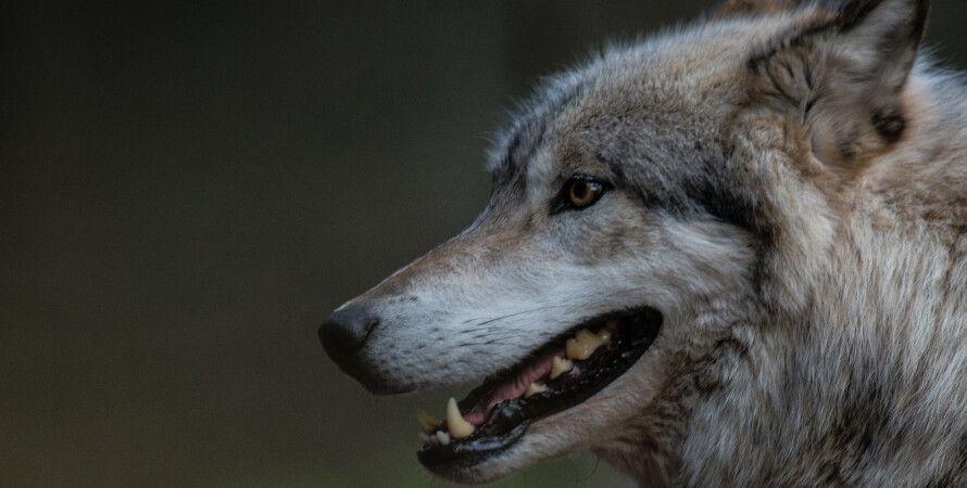 волки, охотники, приручение