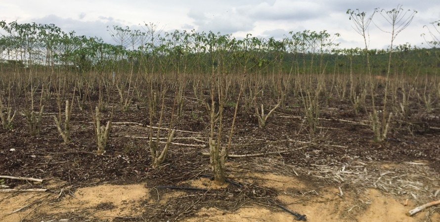 кофе, засуха, плантация, бразилия, фото