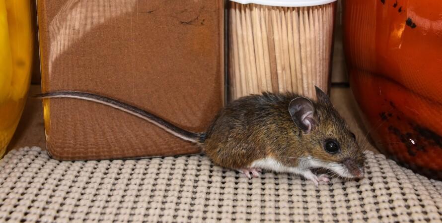 мышь, мыши