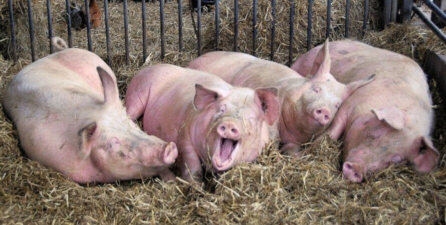 Свині, інфекція, свиняча чума, знищення свиней