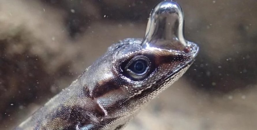 ящірка аноліс