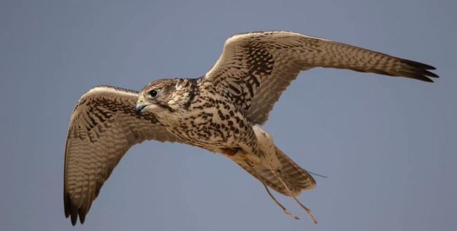 Фото: Saudi Falcon Club