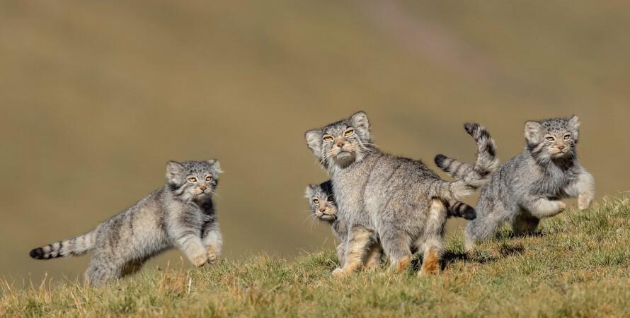 кішки, кошенята, манул, дика кішка, породи кішок, манул фото, фото кішок