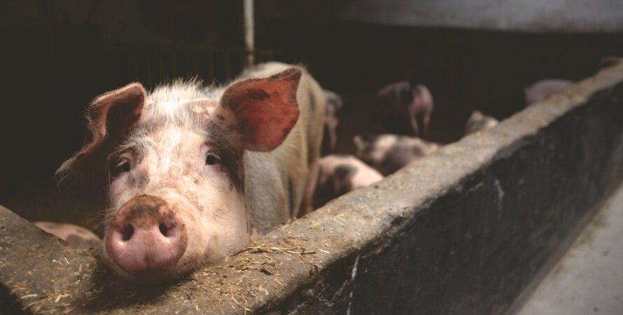 свинья, свиноводство, ферма