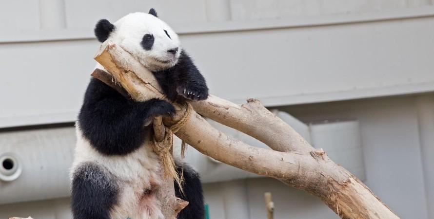 панда, гигантская панда, лян лян, детеныш панды, медвежонок, китай, малайзия, родилась панда
