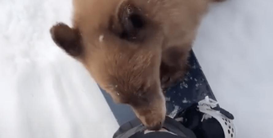 Калифорнийский черный медведь, энцефалит у медведей, неврологическое заболевание, больные медведи