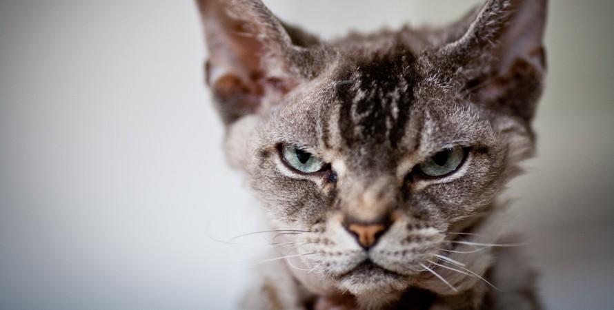 сердита кішка