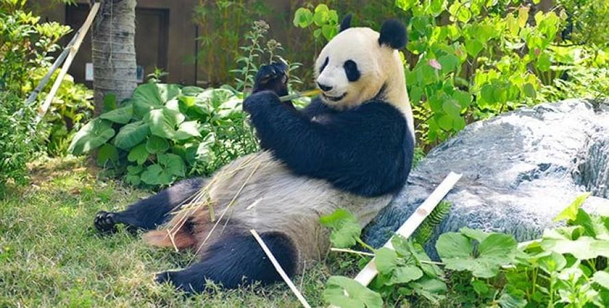 панда, зоопарку Уено