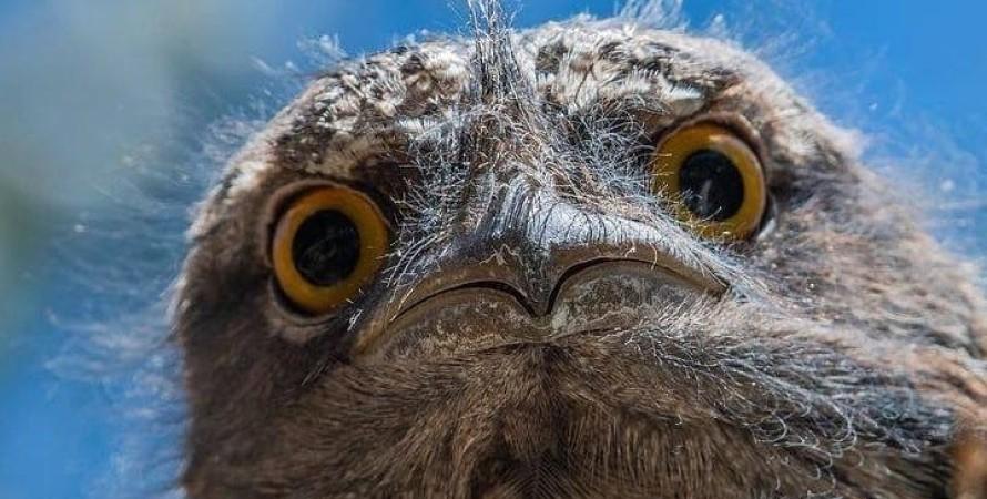 Козодой, найпопулярніша птах в Instagram, птах