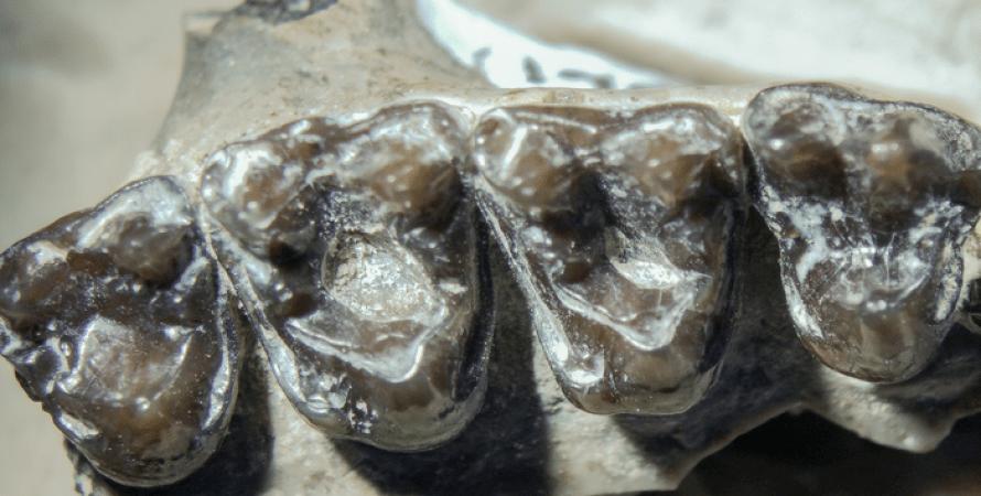 Зуби древнього примата