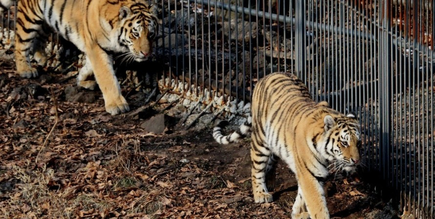 тигри. зоопарк, втечу