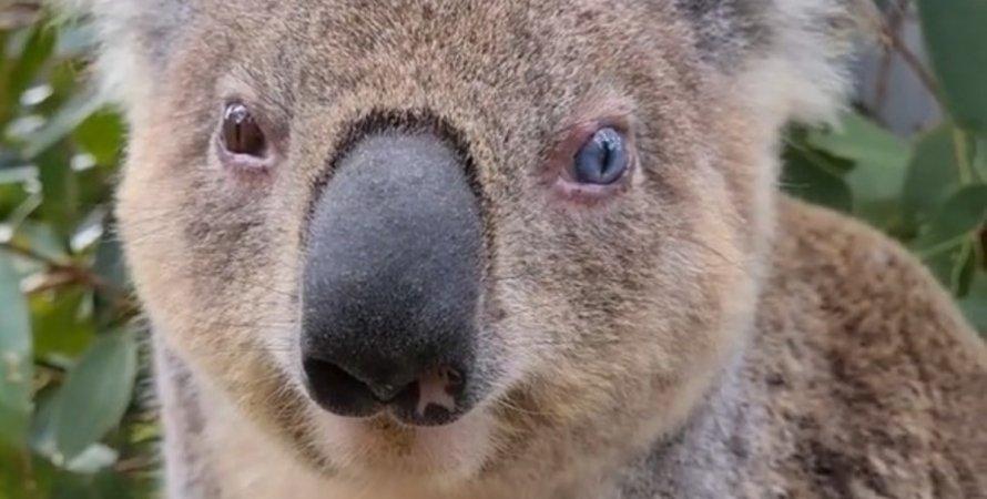 коала Тухи, цвет глаз, гетерохромия