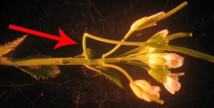 Рослина Різушка Таля