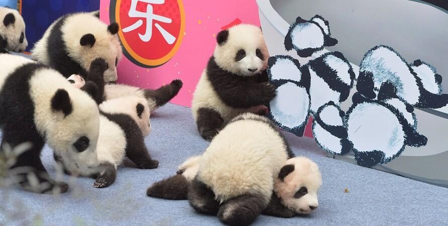 китайский новый год, панды, медвежата, чэнду, питомник, маленькие панды