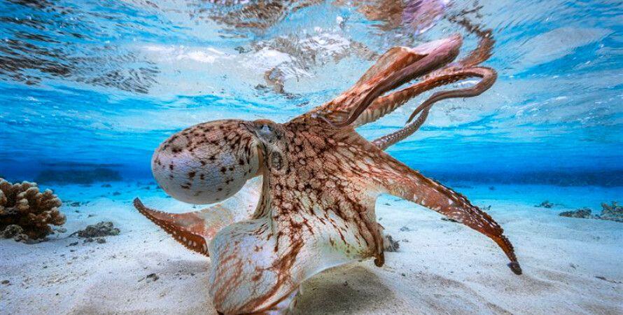 Танцующий осьминог Габриэля Баратье / Фото: underwaterphotographeroftheyear.com