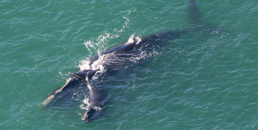 Фото: Marineland Right Whale Project
