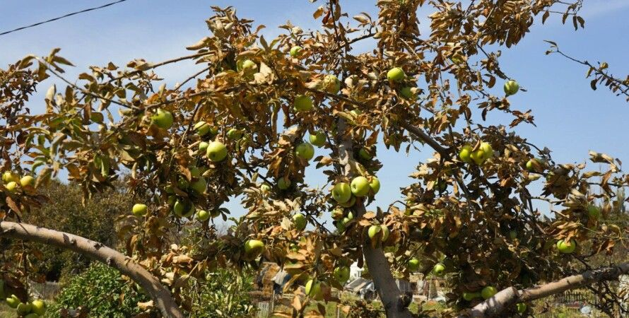 На фото уничтоженный выбросами урожай в Армянске/Фото: Крым.Реалии