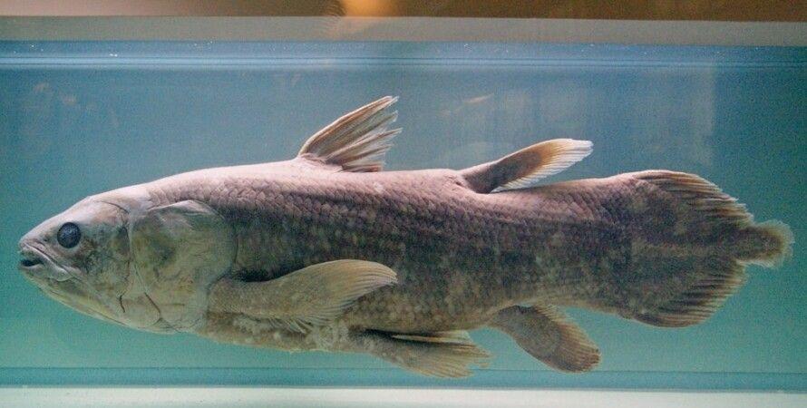 латимерия, ископаемая рыба, гены