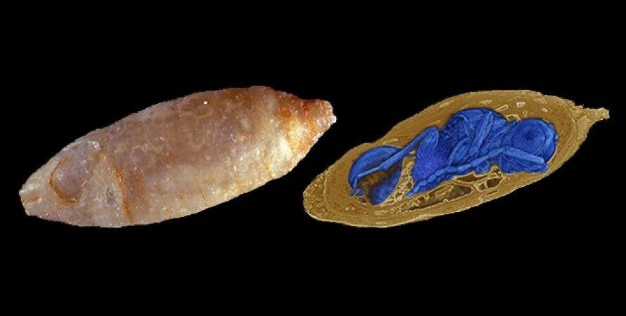Оса-паразит внутри личинки мухи. Georg Oleschinski &Thomas van de Kam