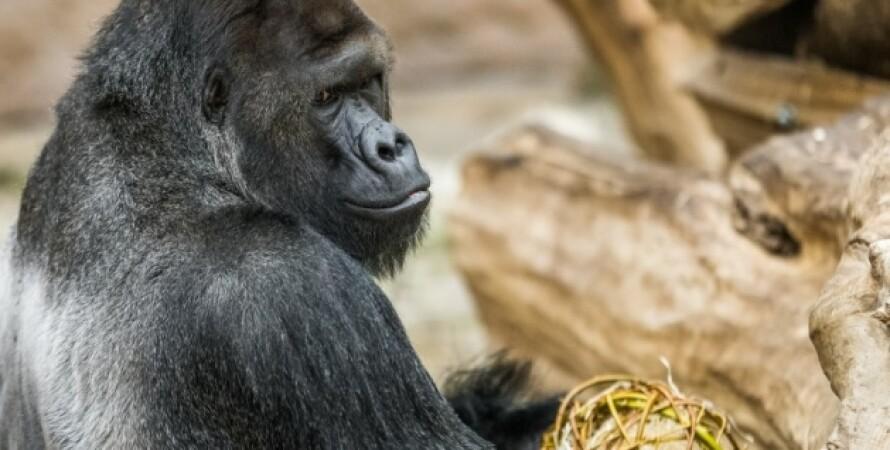 Прага, Чехия, зоопарк, животные, львы, горилла, пандемия коронавируса