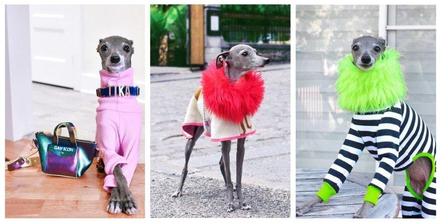 Тика, собака, модний блогер