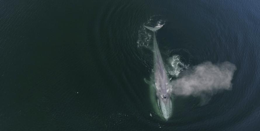 синій кит, Тихий океан, аквакультурні судна