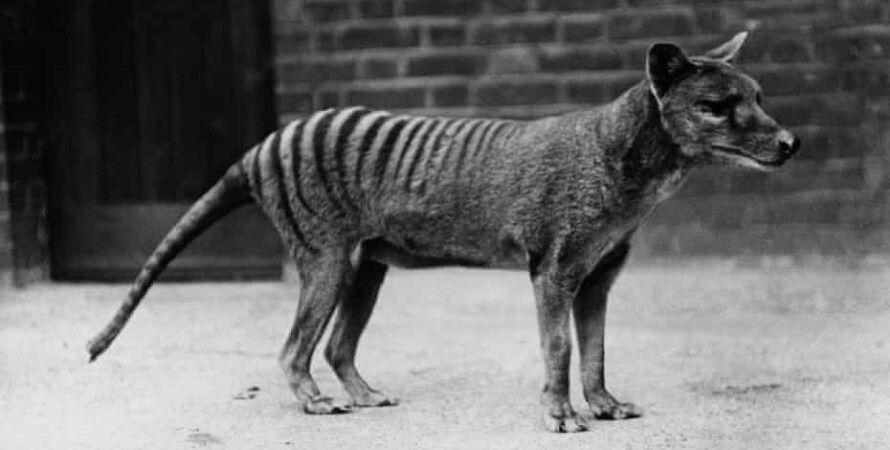 тасмания, тилацин, сумчатый волк, тасманийский волк