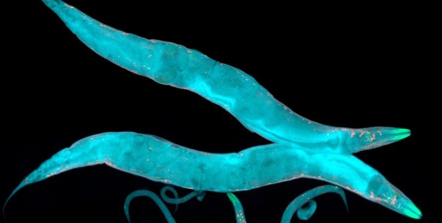 черв'яки, фото, істоти, блакитний колір