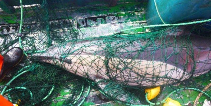Дельфин в рыболовецкой сети. Фото: Cornwall Live