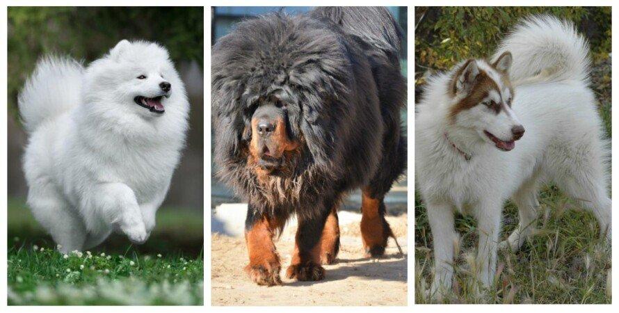 собака, цена, порода, тибетский мастиф, канадская эскимосская собака, самоед