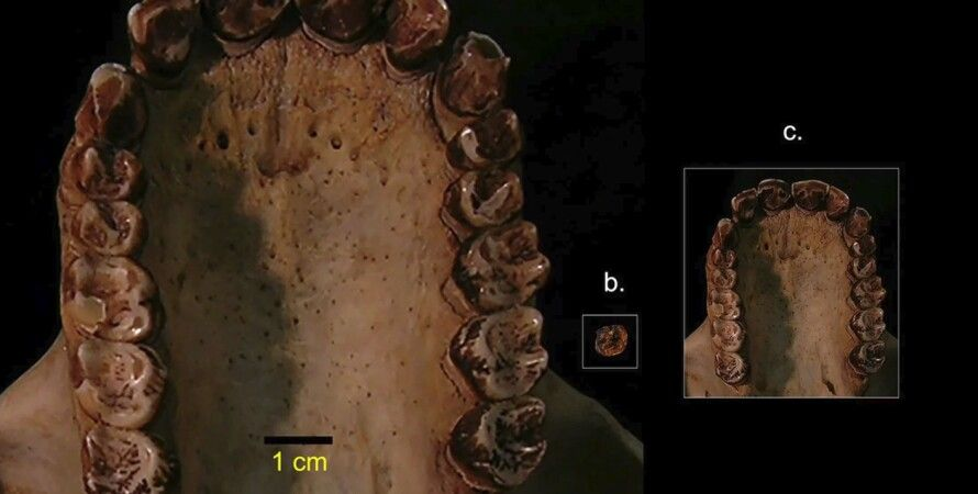 Реконструированная челюсть обезьяны. Иллюстрация: Stony Brook University
