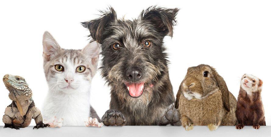 домашние животные, кот, собака, рейтинг, золотое сечение