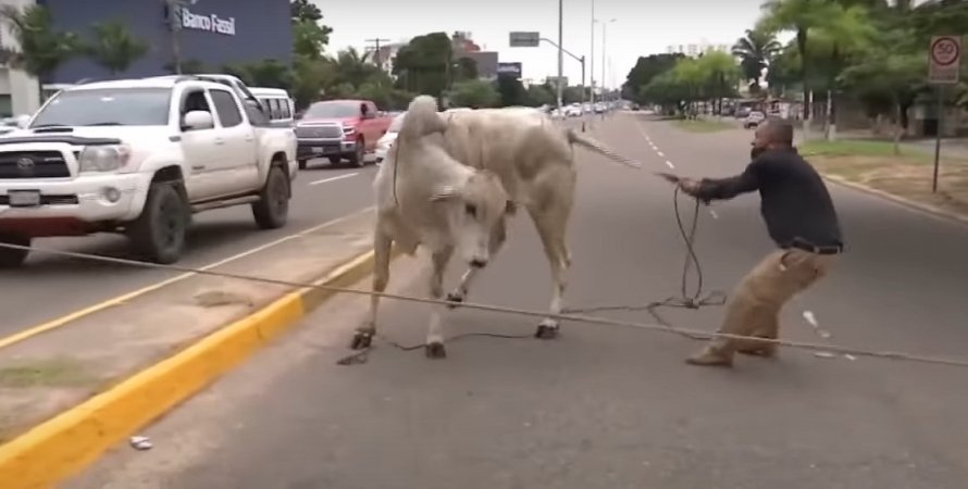 Санта-Круз, Болівія, корова