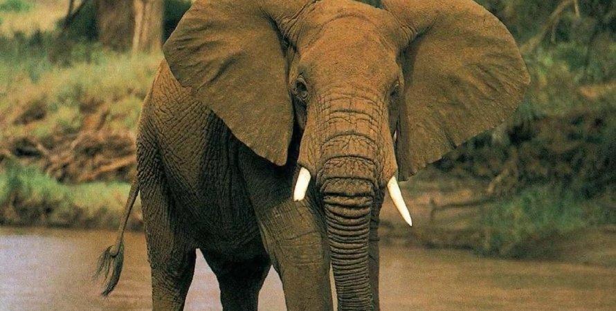 африканский слон, африка, искусственный интеллект, вымирание слонов