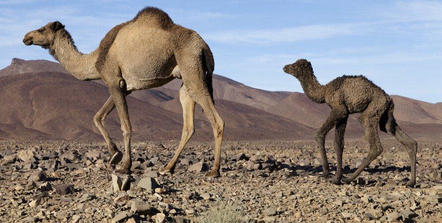 верблюды, пустыня, камушки, фото