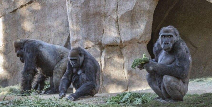 зоопарк, горила, сан Дієго, вакцина, примати, коронавірус, пандемія короанвіруса