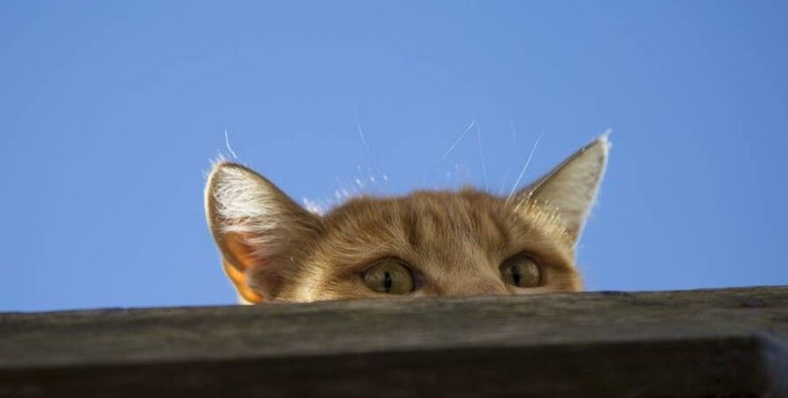 кішка, шпигунство, фото