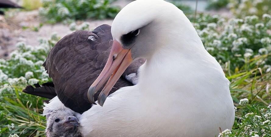 Уіздом, темноспінний альбатрос