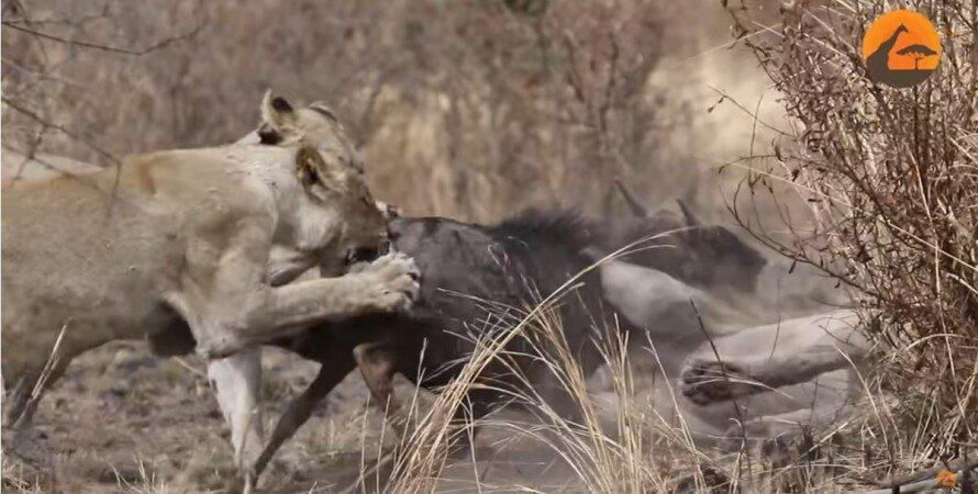 прайд, львы, антилопа гну, охота